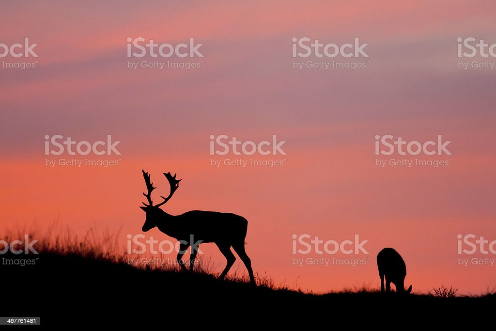 Fallow deer silhuette with a colorful sunset. stock photo