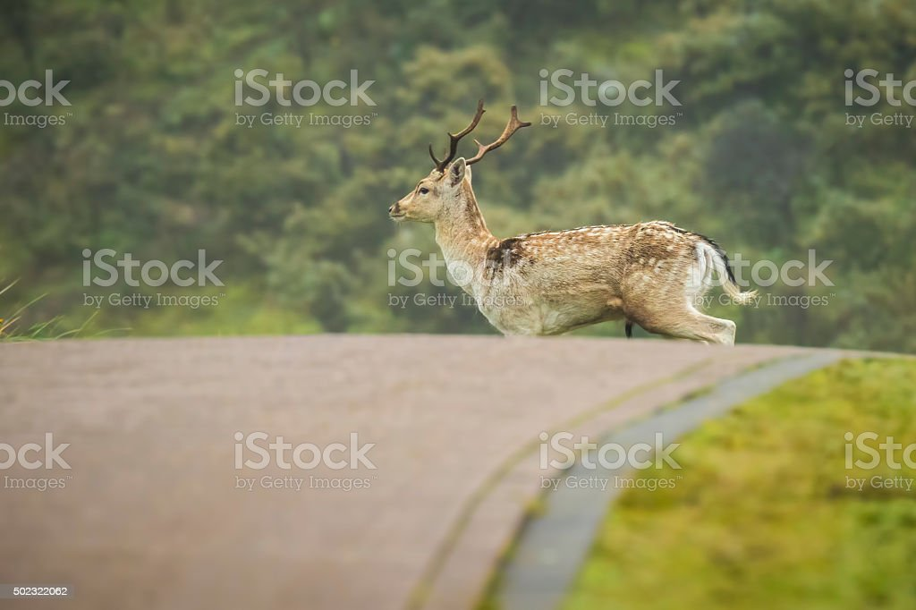 Fallow deer stag crossing a road stock photo