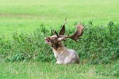 Fallow deer stag lying in grass