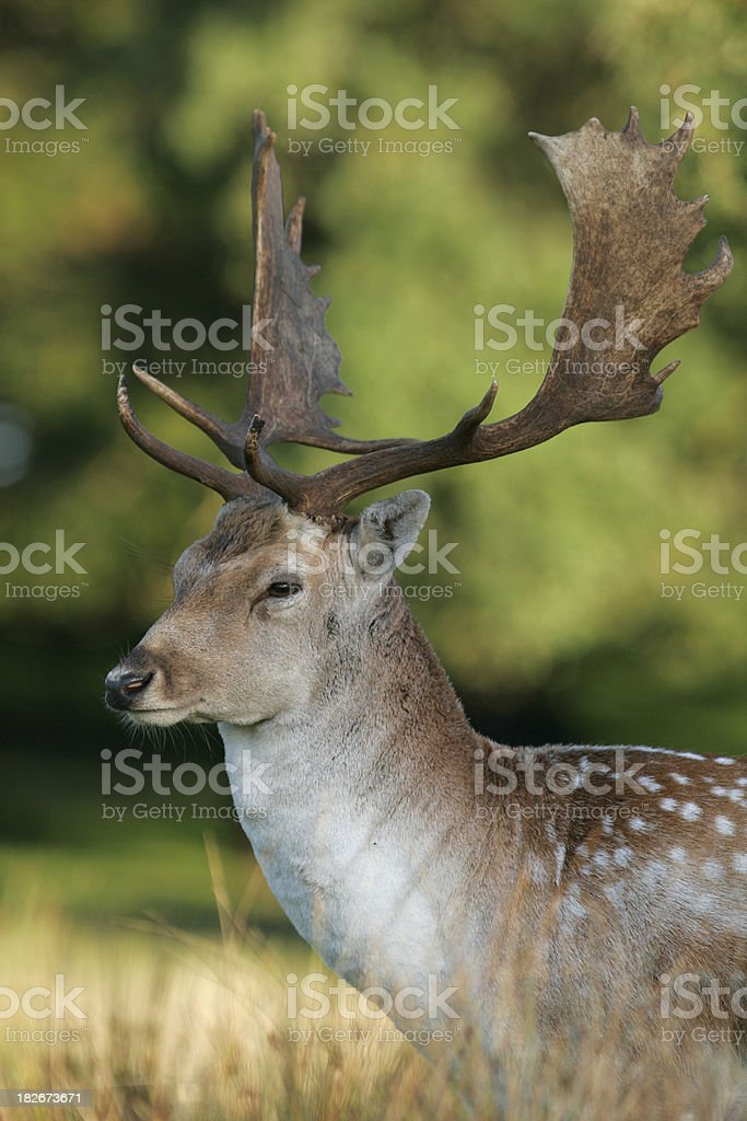 Fallow Deer Stag stock photo