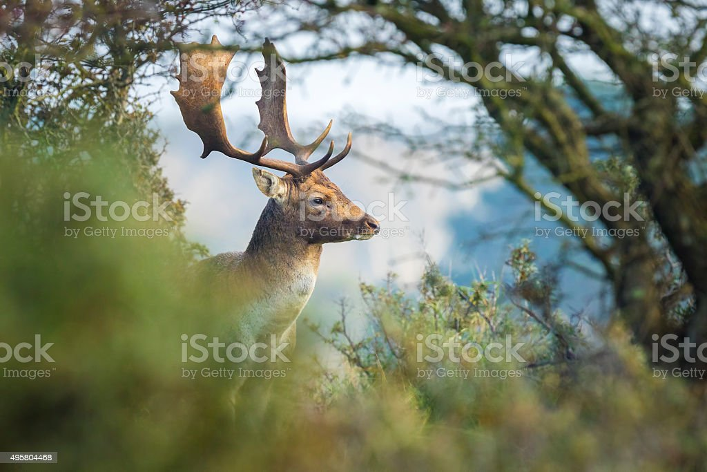 Fallow deer stag rutting in Autumn stock photo