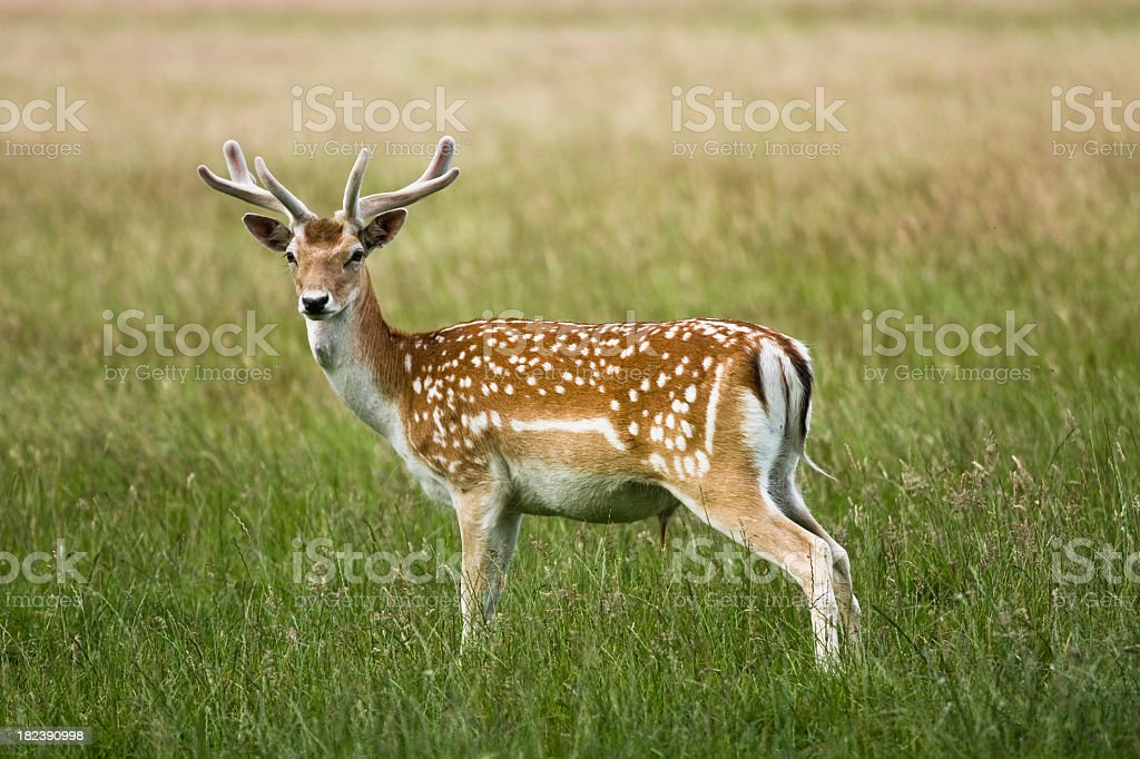 Fallow deer standing in the grass stock photo