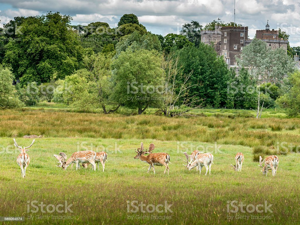 Fallow Deer, Summer UK Heatwave stock photo