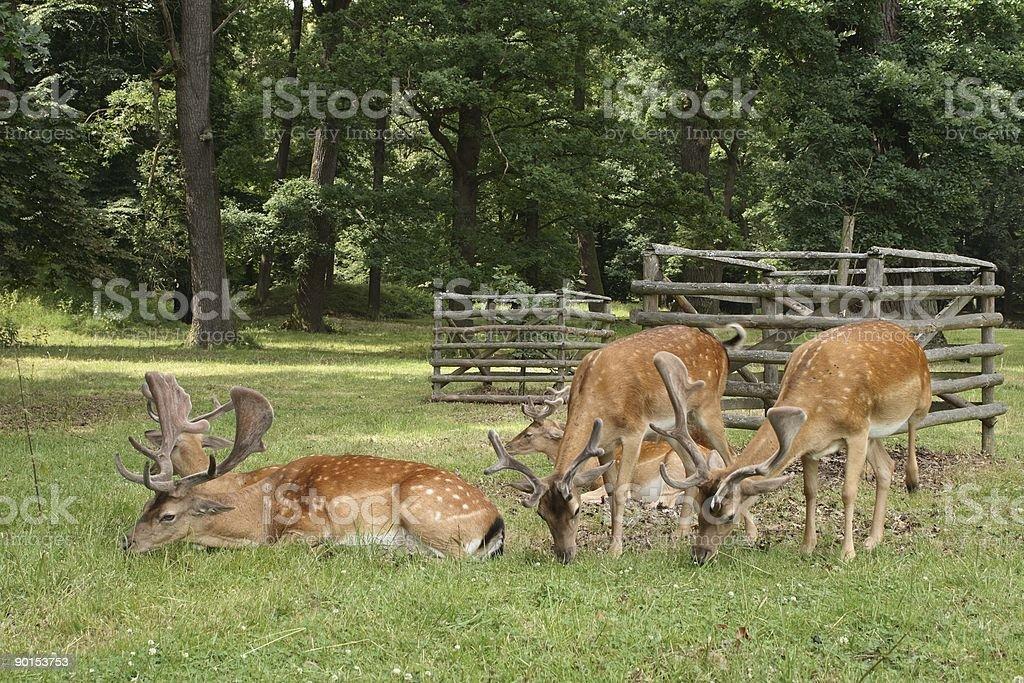 Fallow deers royalty-free stock photo