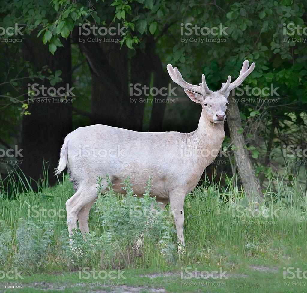 Fallow-deer stock photo