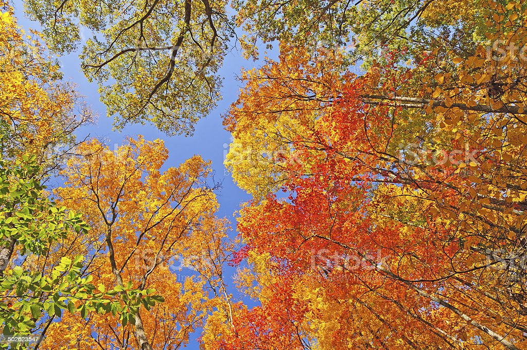 Falls Colors in  the Forest Canopy stock photo