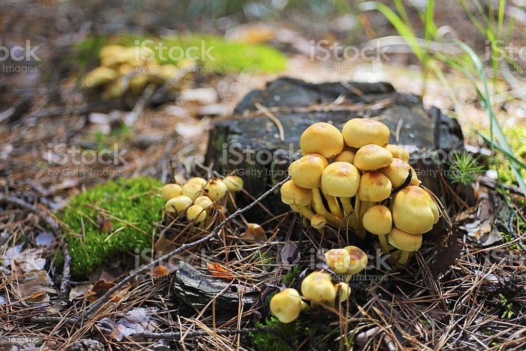 False armillaria mushrooms (Hypholoma fasciculare) on old stub royalty-free stock photo