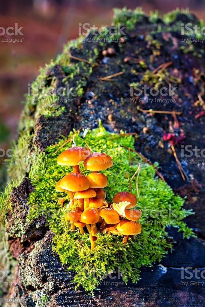 False armillaria mushrooms (Hypholoma fasciculare) stock photo