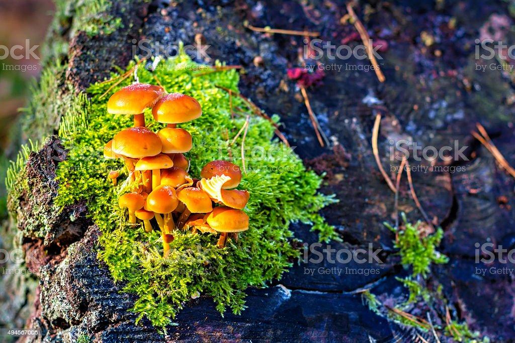 False armillaria mushrooms stock photo