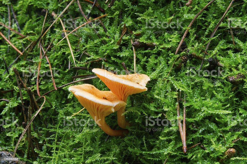 False Chanterelle - Hygrophoropsis aurantiaca royalty-free stock photo