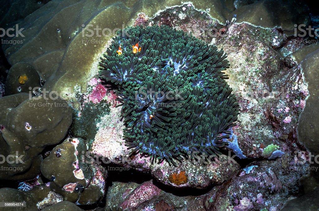 False Clown Anemonefish - Thailand (2 plus 1) royalty-free stock photo