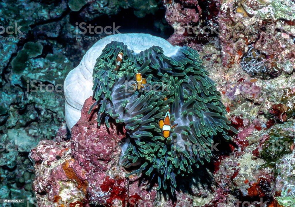 False Clown Anemonefish - Thailand (column 2 plus 1) royalty-free stock photo