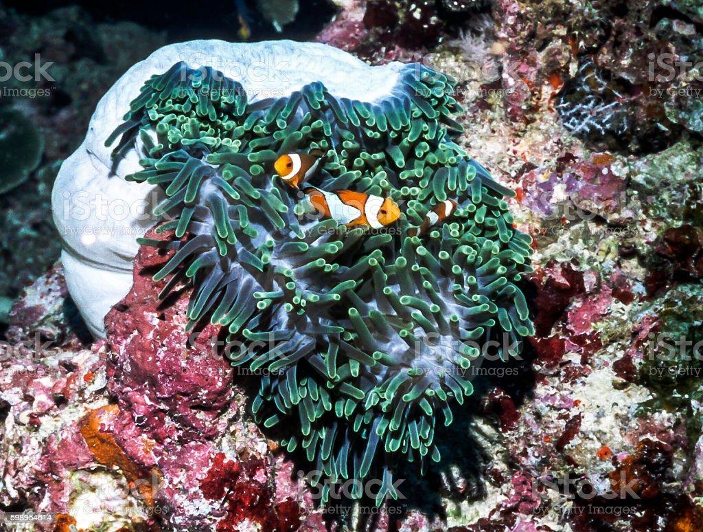 False Clown Anemonefish - Thailand (column) stock photo