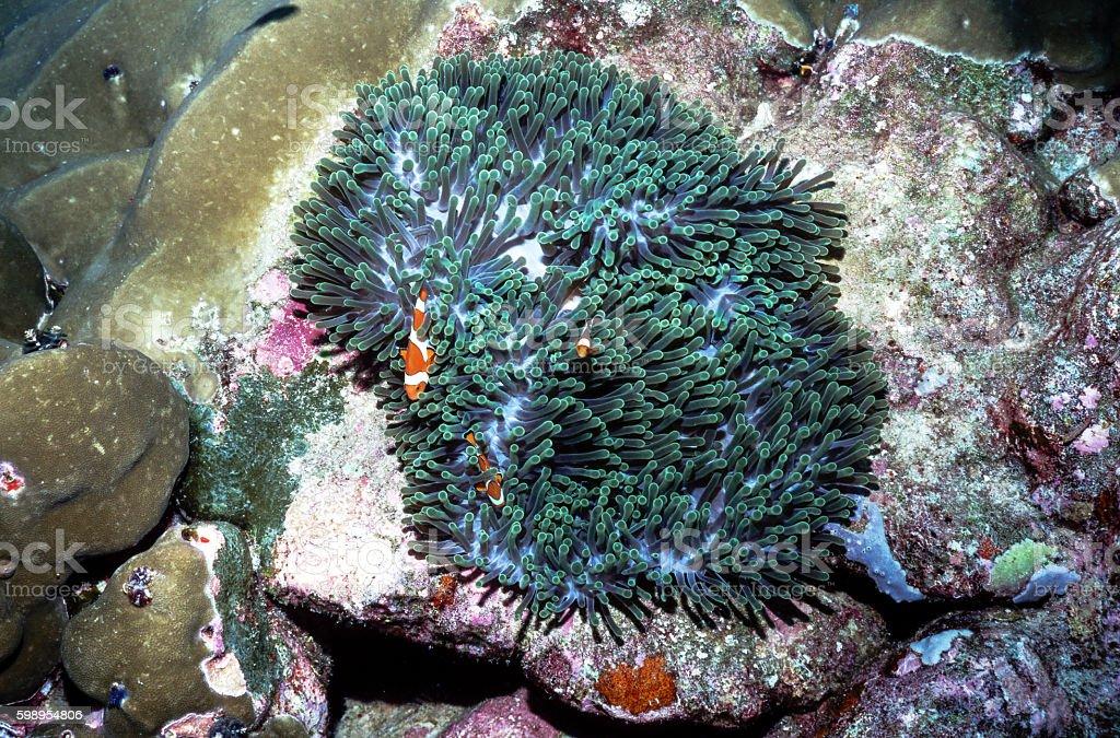 False Clown Anemonefish - Thailand (top view) royalty-free stock photo