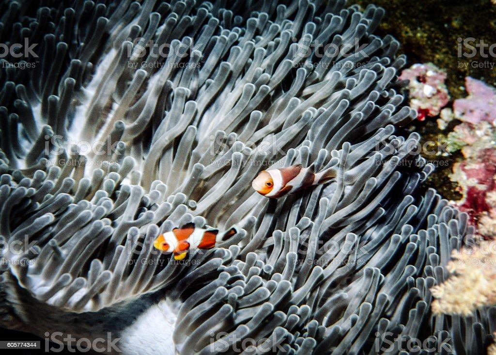 False Clown Anemonefish - Thailand (Wave) royalty-free stock photo