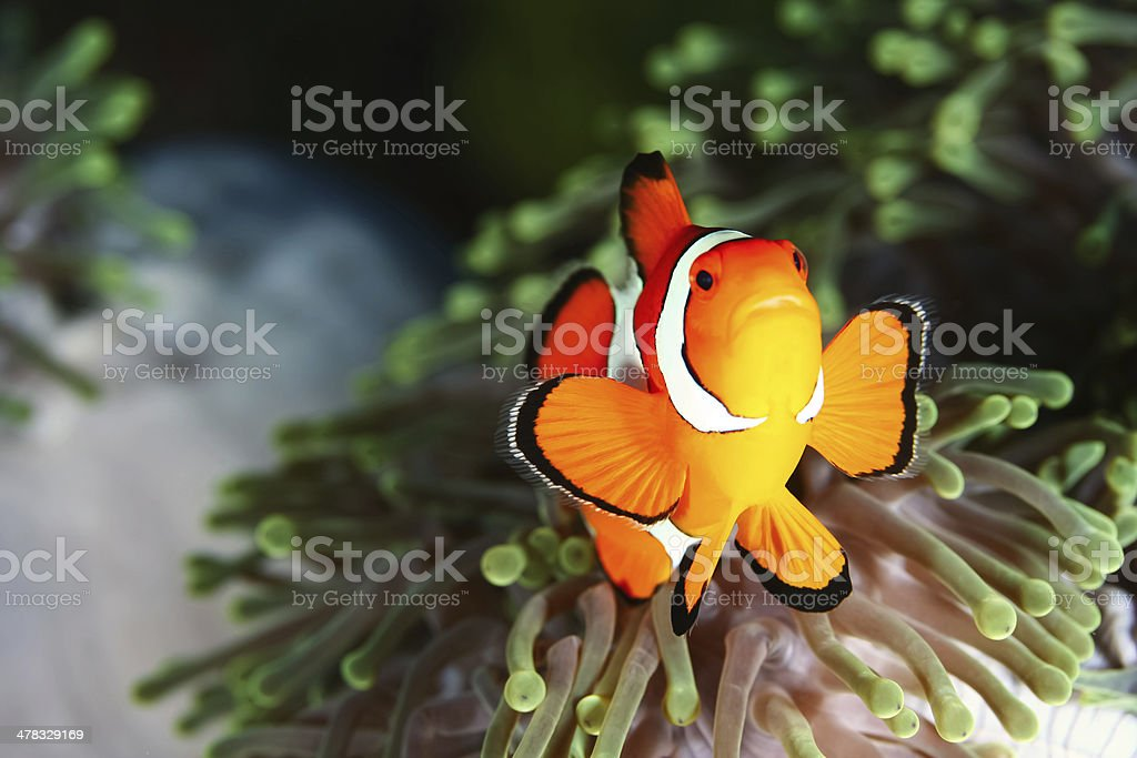 False Crown Anemonefish - Similan Islands, Phang Nga stock photo