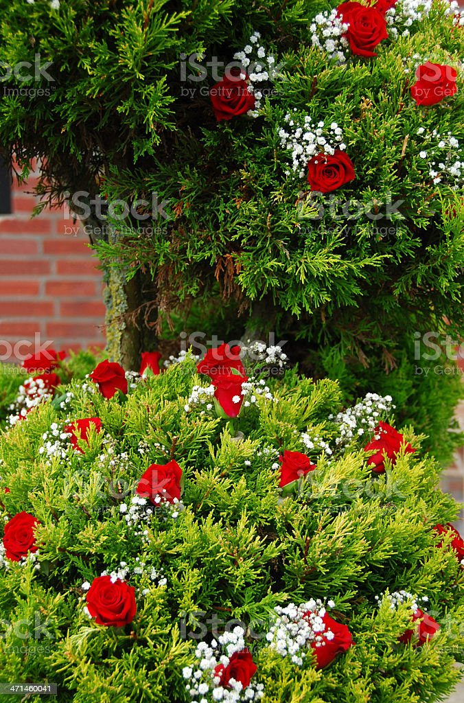 False Cypress decorated with roses stock photo