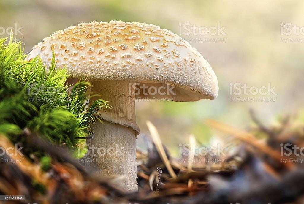 False Death Cap in the forest - Amanita Citrina stock photo