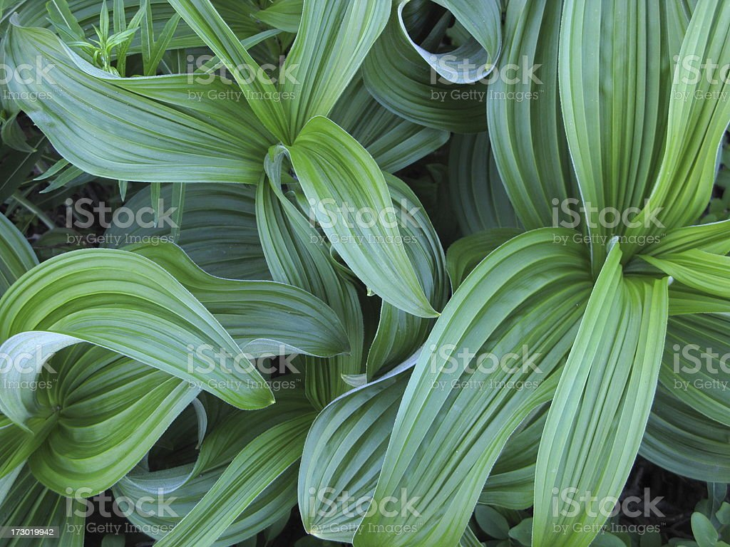 False Hellebore Green Plant Forest stock photo