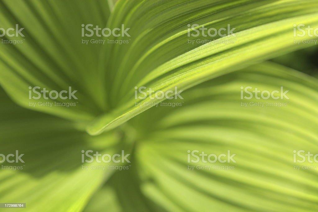 False Hellebore Veratrum viride Plant Leaf royalty-free stock photo