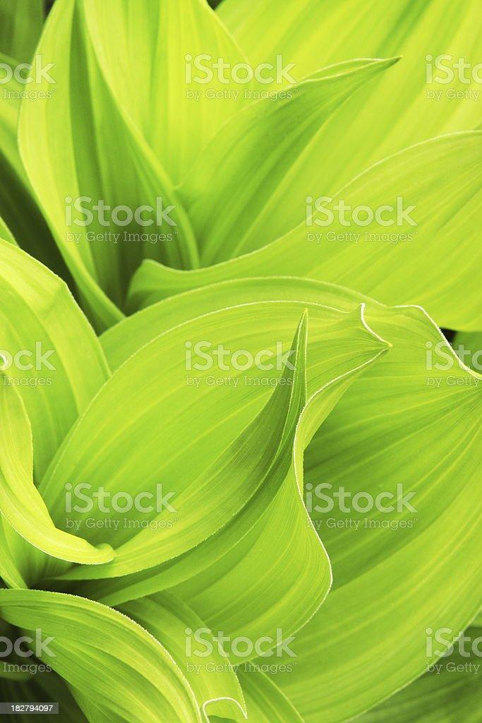 False Hellebore Veratrum viride Plant Leaf stock photo