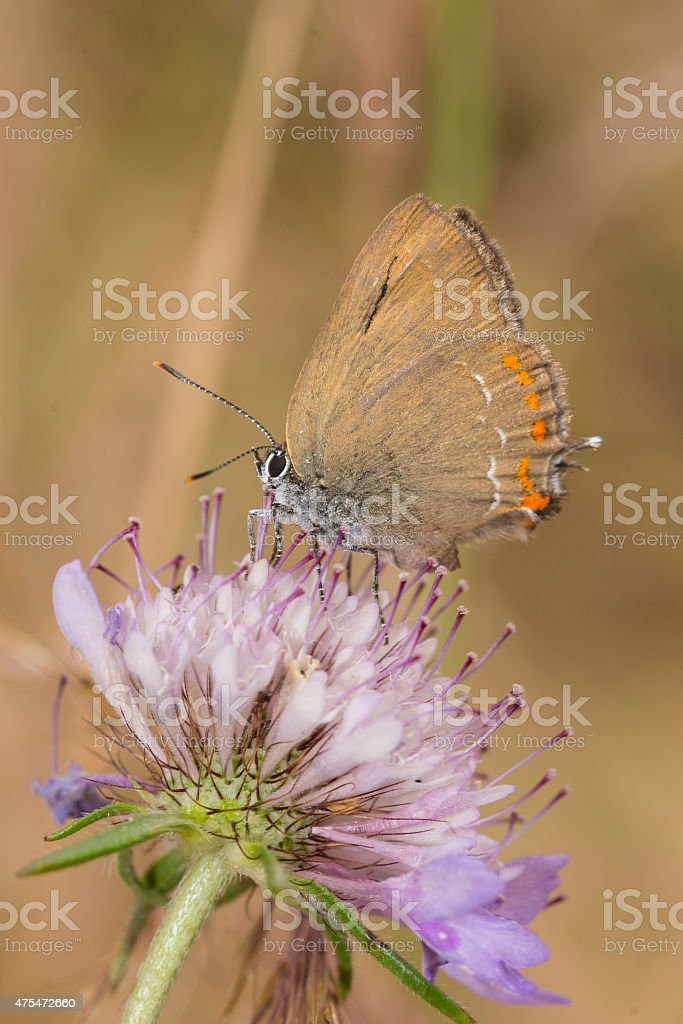 False Ilex Hairstreak butterfly on Scabious royalty-free stock photo