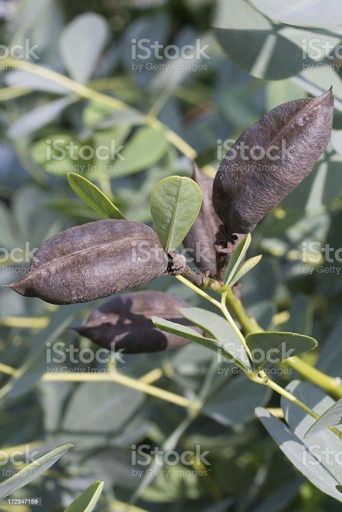 False Indigo Seed Pods royalty-free stock photo