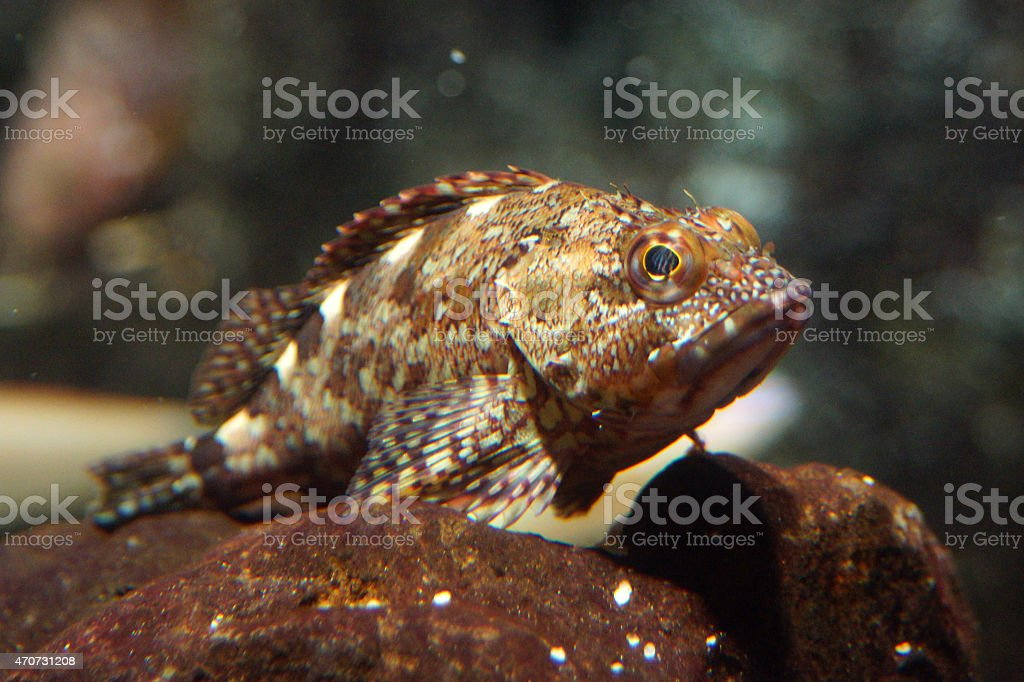 False kelpfish stock photo