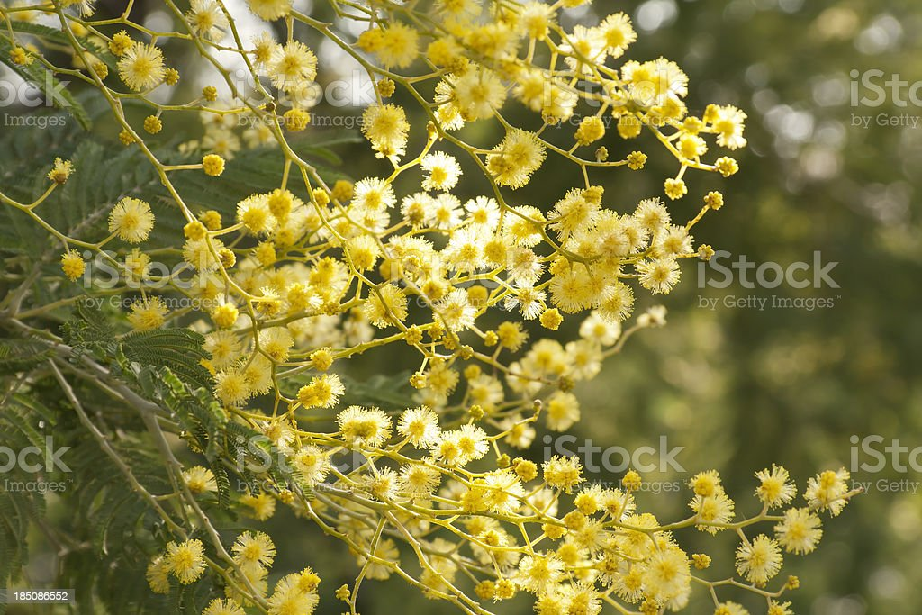 False Mimosa (Acacia dealbata, Mimosaceae) stock photo
