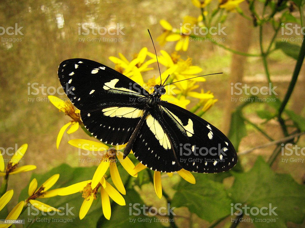false zebra longwing butterfly  Heliconius atthis stock photo