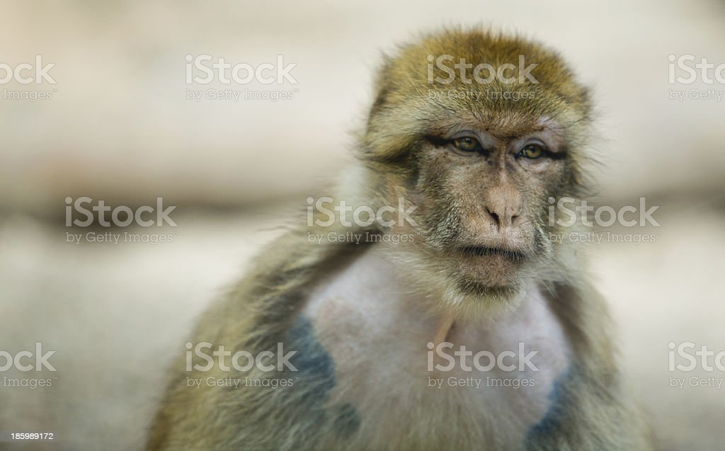 Famale Barbary Macaque stock photo