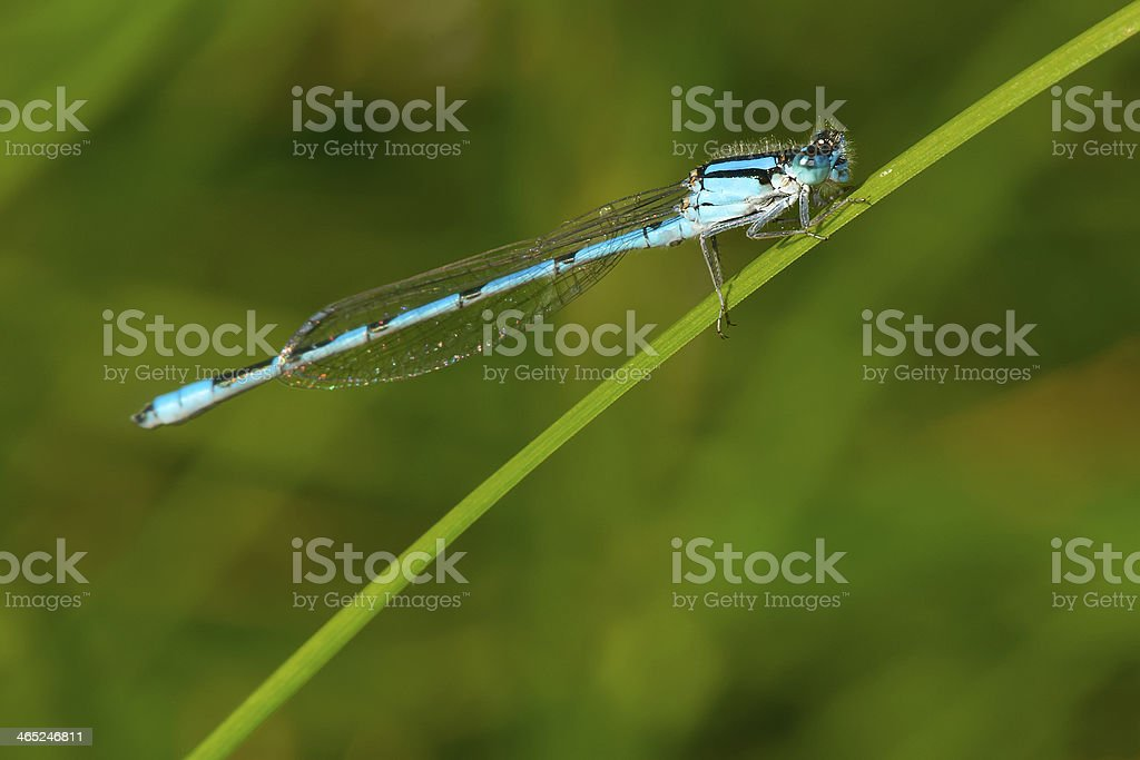 Familiar Bluet Damselfly stock photo
