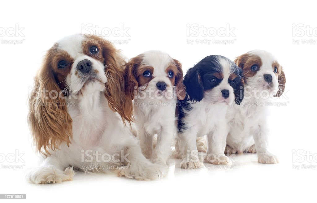 family cavalier king charles royalty-free stock photo