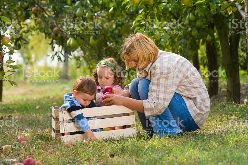 Family collecting apples in orchard royalty-free stock photo