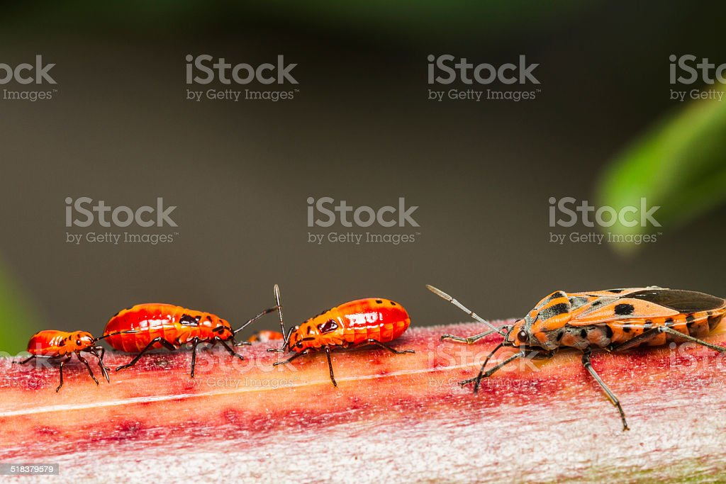 Family cotton stainer bug stock photo