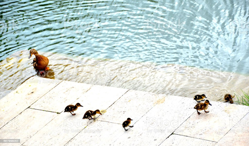Family duck stock photo