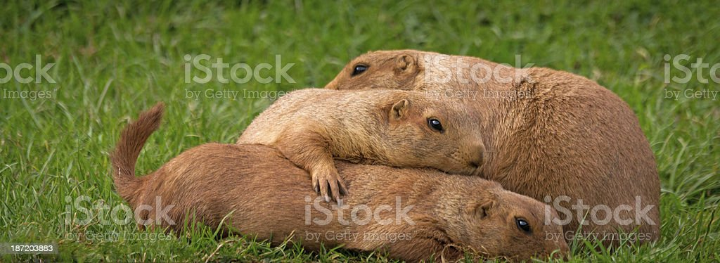 Family group of Prairie dogs royalty-free stock photo