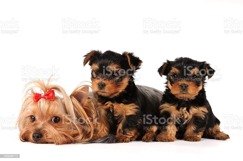 Family group of yorkshire terrier isolated on white royalty-free stock photo