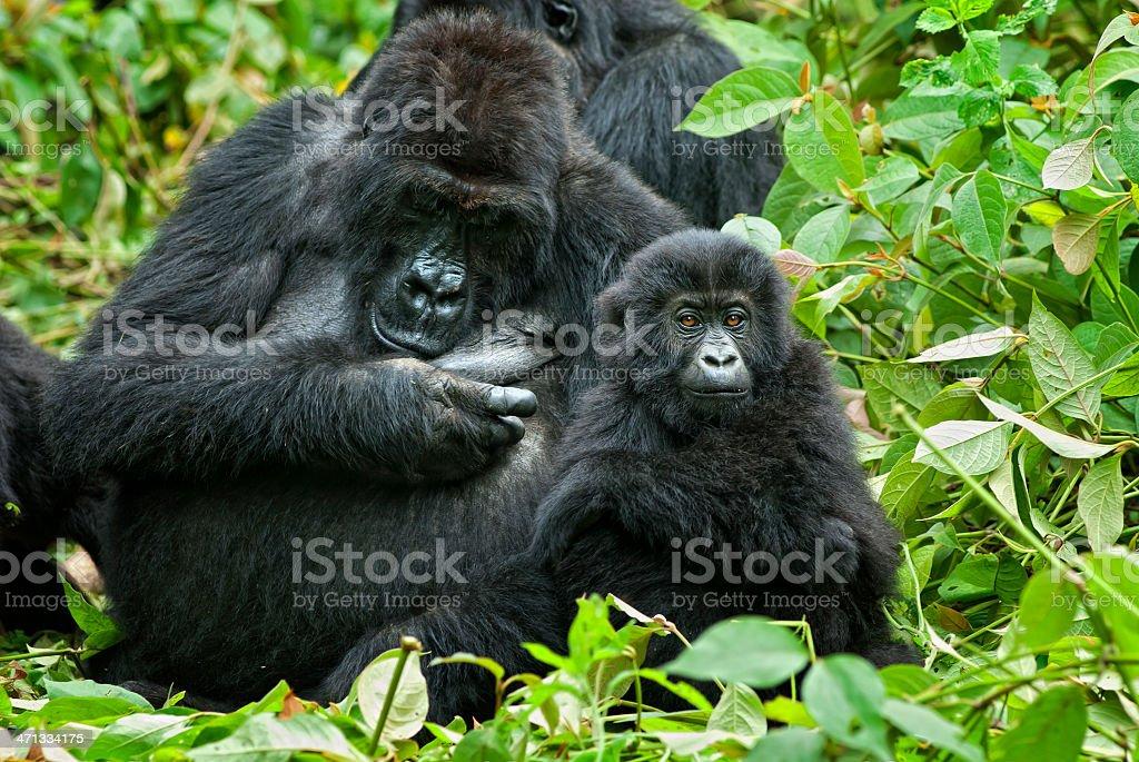 Family Life, Eastern Lowland Gorillas in Congo stock photo