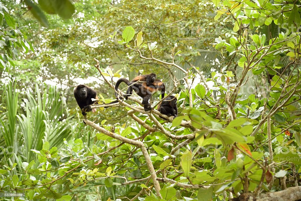 Family Monkey stock photo