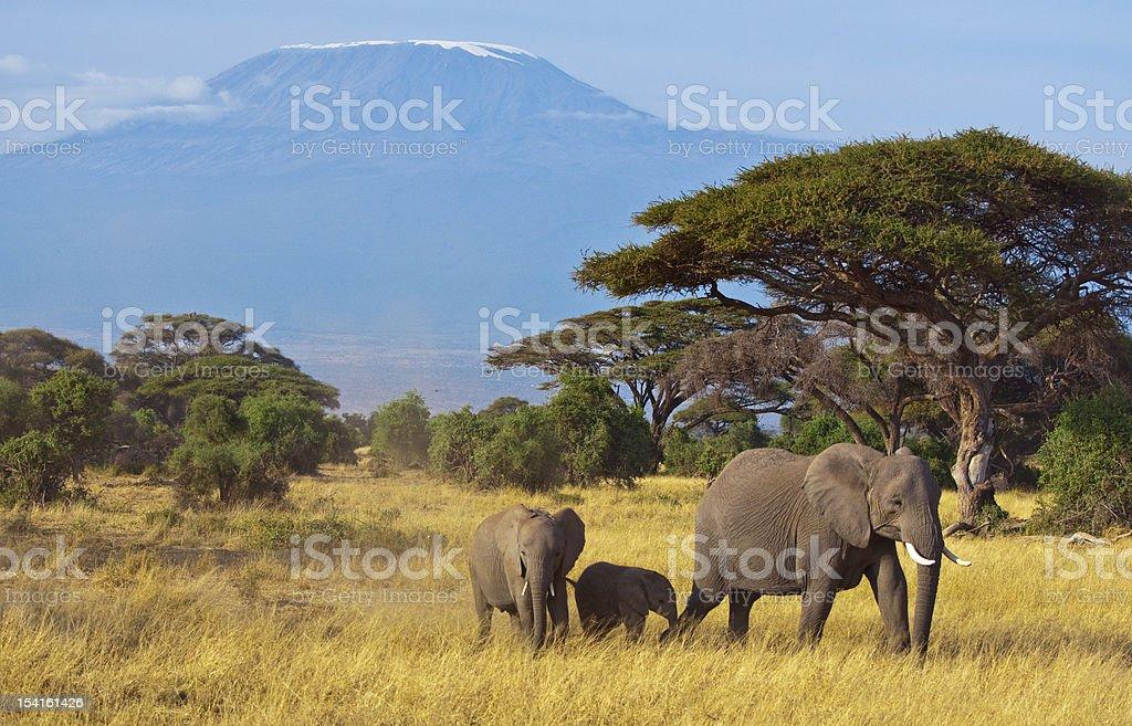 Family of 3 elephants roam the land in front of Kilimanjaro stock photo