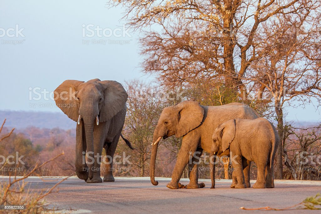 family of african bush elephants on the road stock photo