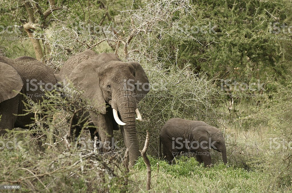 Family of african elefant royalty-free stock photo