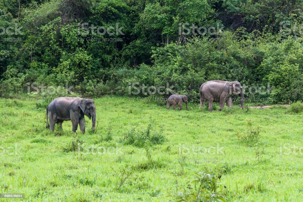 Family of Asian Elephant walking and looking grass for food in forest. Kui Buri National Park. Thailand. stock photo