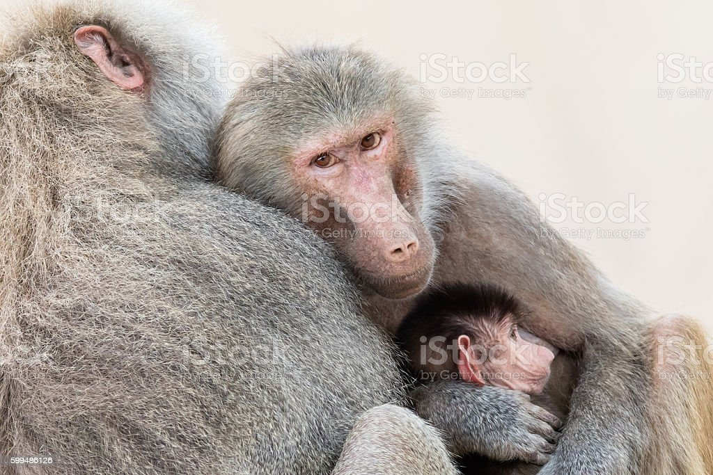 Family of baboons sitting very close together stock photo
