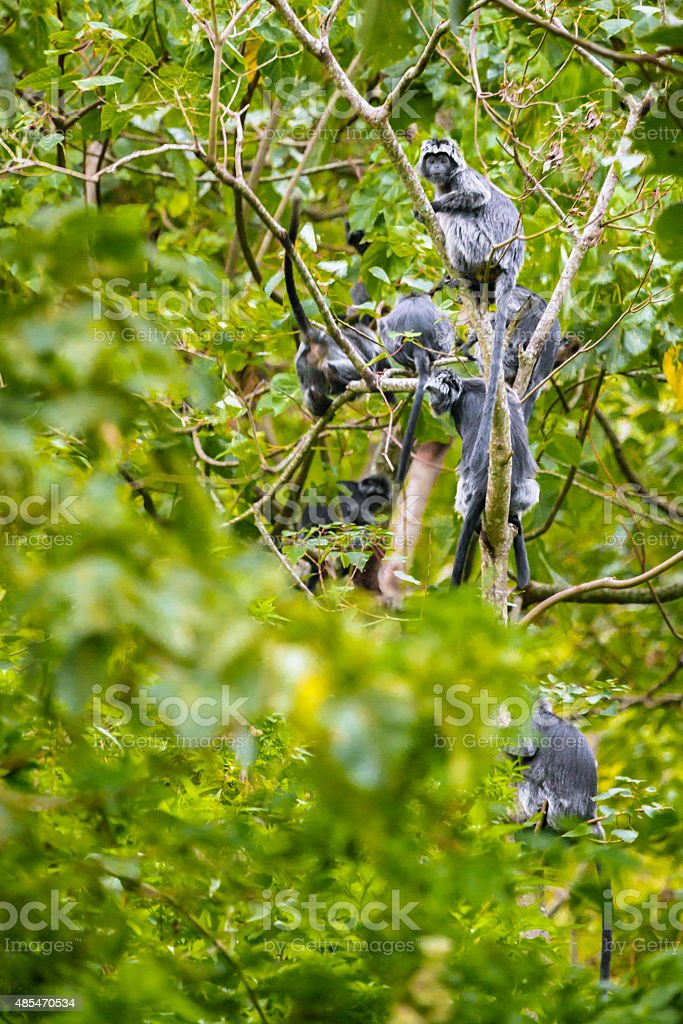 Family of Black Javan Langurs stock photo
