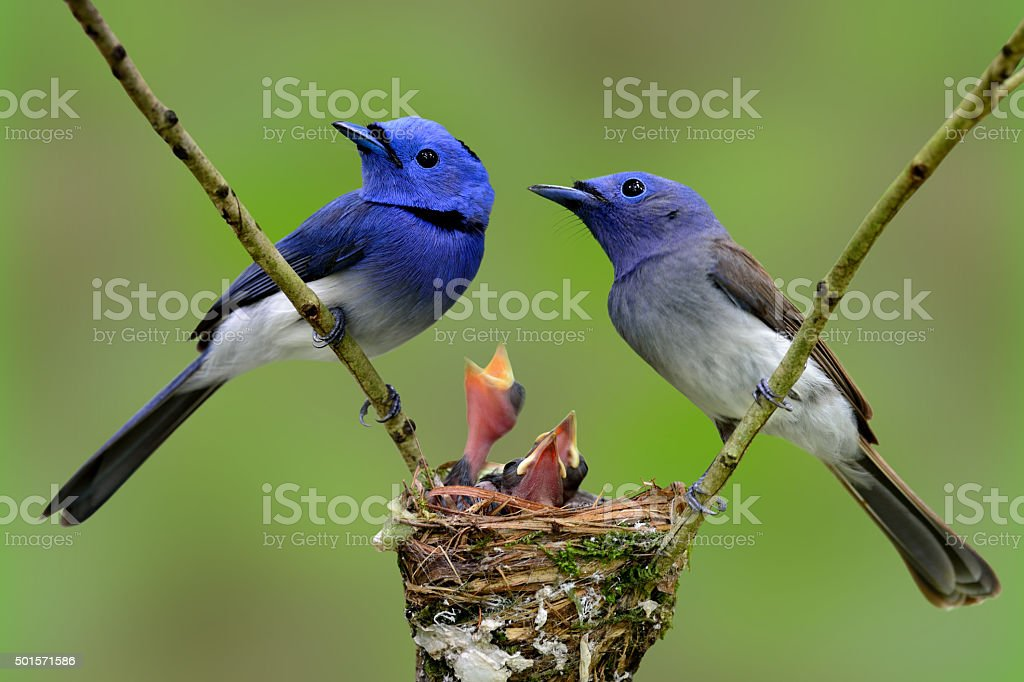 Family of Black-naped Monarch (Blue flycatcher), the beautiful b stock photo