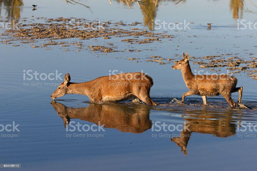 family of Ciervo Rojo europeo, Cervus elaphus stock photo