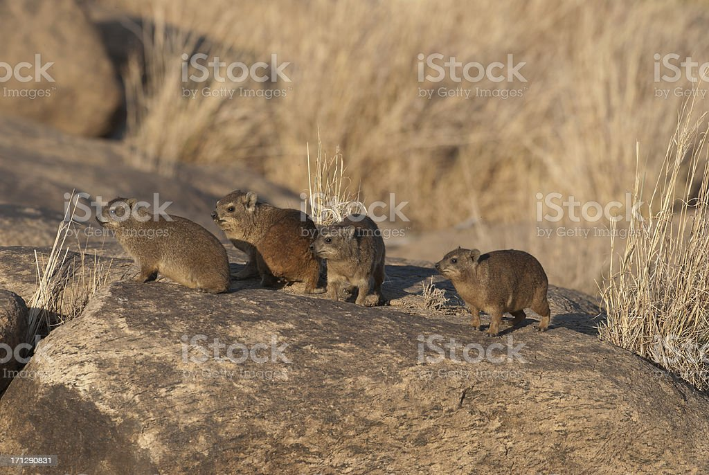 family of dassies stock photo