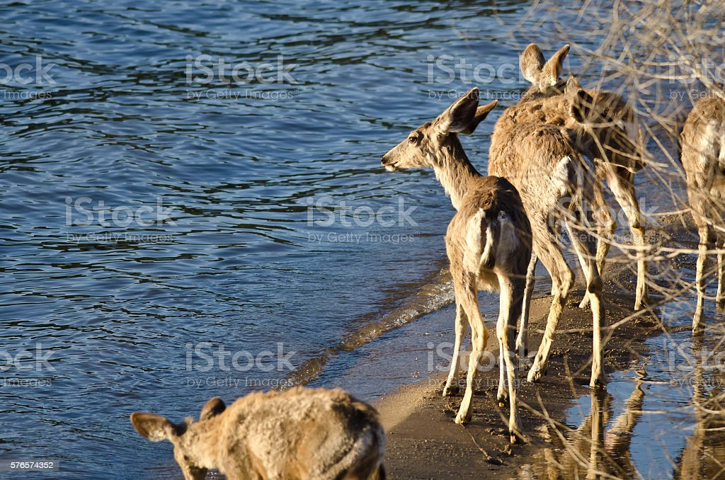 Family of Deer Walking Along the Water's Edge stock photo
